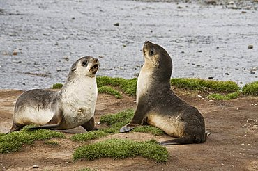 Fur seals, Stromness Bay, South Georgia, South Atlantic