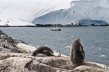 Gentoo penguins, Port Lockroy, Antarctic Peninsula, Antarctica, Polar Regions