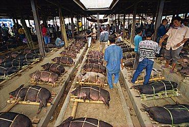 Pig market, Rantepao, Toraja area, Sulawesi, Indonesia, Southeast Asia, Asia