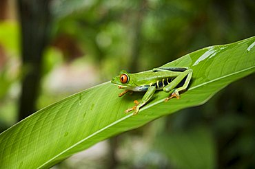 Red eyed tree frog, Tortuguero National Park, Costa Rica, Central America