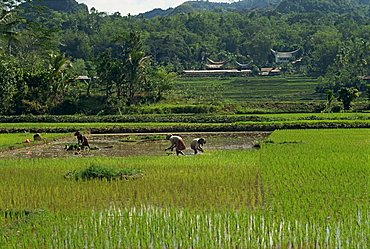 Agricultural landscape with people working in rice paddies, Toraja area, island of Sulawesi, Indonesia, Southeast Asia, Asia