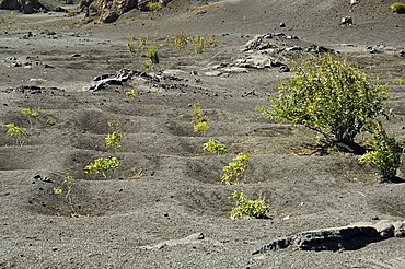 Vegetation gowing well in the fertile soil of the volcanic caldera, Fogo (Fire), Cape Verde Islands, Africa