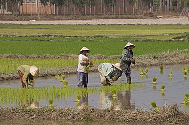 Planting rice, near Vientiane, Laos, Indochina, Southeast Asia, Asia