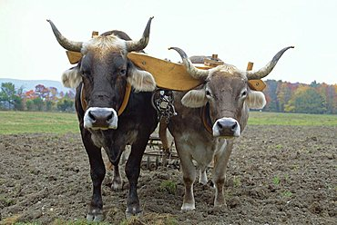 Close-up of two oxen pulling a plough in a Shaker village where traditional farming methods are used, at Hancock, Massachusetts, New England, USA