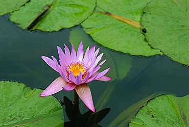 Waterlily, Botanical Gardens, Mauritius