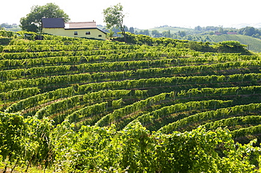 Jeruzalem vineyards, Mura (Pomurje), Slovenia, Europe