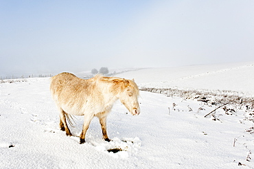 A Welsh pony forages for food under the snow on the Mynydd Epynt moorland, Powys, Wales, United Kingdom, Europe