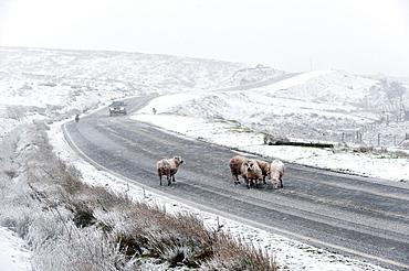 Sheep in a wintry landscape on the Mynydd Epynt moorland, Powys, Wales, United Kingdom, Europe