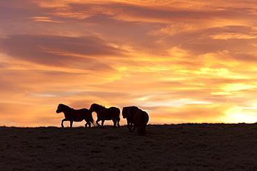 Welsh ponies silhouetted against the dawn sky on the Mynydd Epynt high moorland, Powys, Wales, United Kingdom, Europe