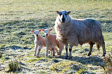 Ewes and lambs at springtime on the Mynydd Epynt range, Powys, Wales, United Kingdom, Europe