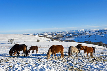 Welsh Mountain Ponies in the snow on the Mynydd Epynt moorland, Powys, Wales, United Kingdom, Europe