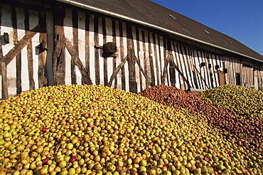 Piles of cider apples used for making calvados, Domaine Coeur de Lion, Normandie, France, Europe