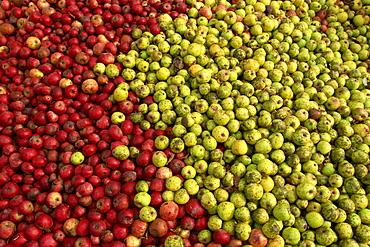 Cider apples, Normandy, France, Europe