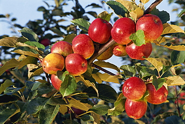 Frequin Rouge cider apples, Normandie, France, Europe
