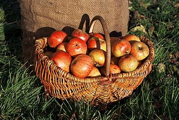 Basket of cider apples, Pays d'Auge, Normandie (Normandy), France, Europe