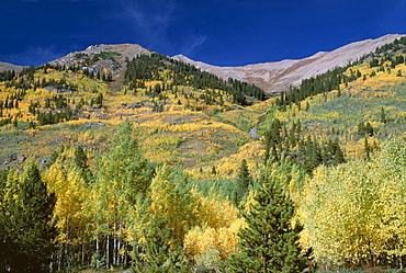 Aspen trees, Independence Pass, Colorado, United States of America (U.S.A.), North America
