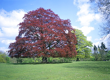 Copper beech tree, Croft Castle, Herefordshire, England, United Kingdom, Europe