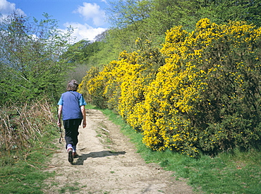 Gorse in bloom and walker, Croft, Herefordshire, England, United Kingdom, Europe