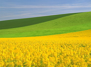 Patterned green and yellow agricultural landscape in spring with oil seed rape field in flower near Marcilly le Hayer, Aube, France, Europe