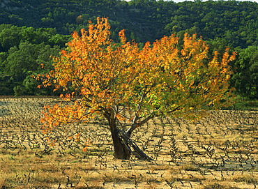 A fig tree in vineyards in autumn in Provence, France, Europe