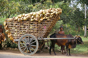 Ox cart loaded with coconut husks, near Colombo, Sri Lanka, Asia