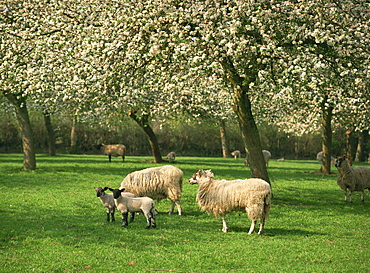 Sheep and lambs beneath apple trees in blossom in spring in a cider orchard in Herefordshire, England, United Kingdom, Europe