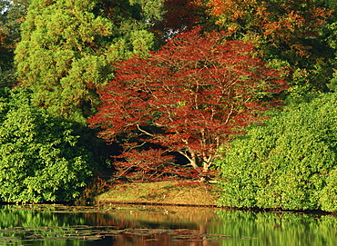 Tranquil scene of acer trees in autumn (fall) colours at Sheffield Park, Sussex, England, United Kingdom, Europe