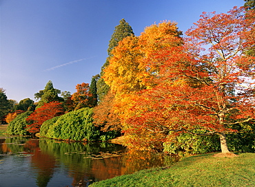 Acer trees in autumn, Sheffield Park, Sussex, England, United Kingdom, Europe