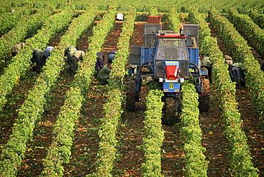 Grape harvest, vineyards near Macon, Burgundy (Bourgogne), France, Europe