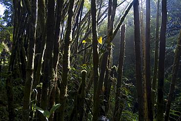 Rainforest near Akaka Falls, Island of Hawaii (Big Island), Hawaii, United States of America, North America