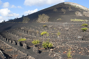 The wine growing district of La Geria, a protected landscape of Lanzarote, Canary Islands, Spain, Atlantic, Europe