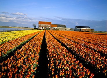 Tulip fields and house, Lisse, The Netherlands (Holland), Europe