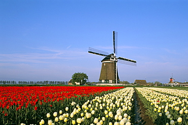 Windmill and tulip fields, The Netherlands (Holland), Europe