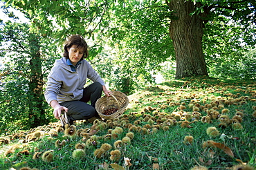 Woman collecting sweet chesnuts, Tuscany, Italy, Europe