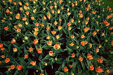 Orange tulips in bulbfield, Holland, Europe