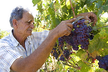 Wine maker cutting grapes, Dafnes, in the mountains above Heraklion, Crete, Greek Islands, Greece, Europe