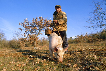 Truffle producer with pig searching for truffles in January, near Lalbenque, Quercy region, Lot, France, Europe