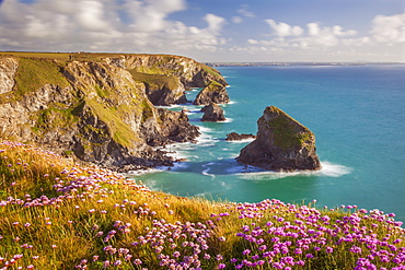Pink thrift flowers, Bedruthan Steps, Newquay, Cornwall, England, United Kingdom, Europe