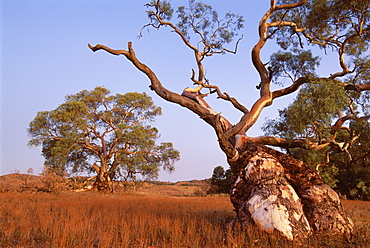 Red River Gum tree, Eucalyptus camaldulensis, Flinders Range, South Australia, Australia, Pacific
