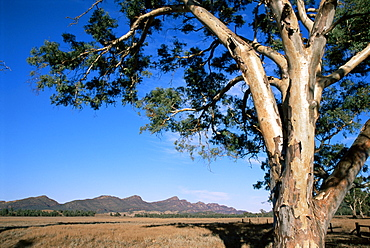 Red River gum tree (Eucalyptus camaldulensis), Wilpena, Flinders Ranges, South Australia, Australia, Pacific