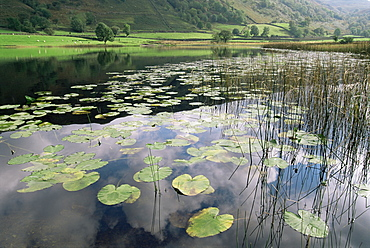 Lily pads, Watendlath Tarn, Lake District National Park, Cumbria, England, United Kingdom, Europe