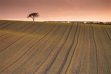 Lone tree in frosted ploughed field, Farnsfield, Nottinghamshire, England, United Kingdom, Europe