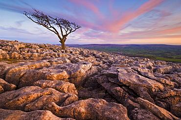 Twisted tree, Twistleton Scar End, Ingleton, Yorkshire Dales National Park, England, United Kingdom