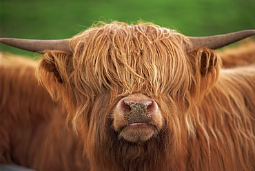 Close-up of the head of a shaggy Highland cow with horns, looking at the camera, Scotland, United Kingdom, Europe