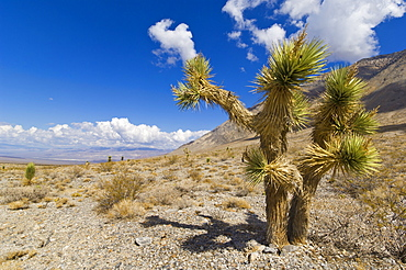 Joshua tree forest (Yucca brevifolia), on the Racetrack road, Death Valley National Park, California, United States of America, North America