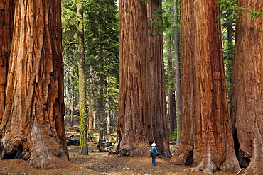 Tourist hiker, admiring the Giant Sequoia trees (Sequoiadendron giganteum), known as the Parker Group, Sequoia National Park, Sierra Nevada, California, United States of America, North America