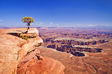 Grand View Point overlook and juniper tree, Island in the Sky, Canyonlands National Park, Utah, United States of America, North America