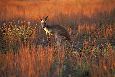 Close-up of a grey kangaroo (Macropus fuliginosus melanops), Flinders Range, South Australia, Australia, Pacific