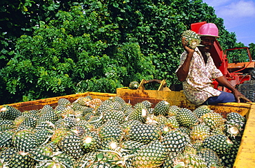 Harvested pineapples, Guadeloupe, French Antilles, Caribbean, West Indies