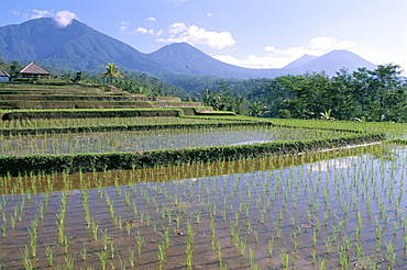 Rice paddy fields in centre of the island, Bali, Indonesia, Southeast Asia, Asia